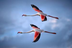 Greater Flamingos by Xavier Ortega