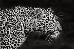 Leopard Close Up by Xavier Ortega