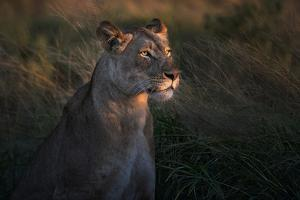 Lioness at firt day ligth by Xavier Ortega