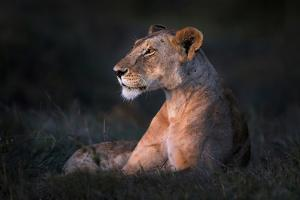 Lone Lioness by Xavier Ortega