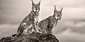 Two Lynx on Rock by Xavier Ortega