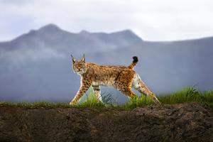 Walking Lynx by Xavier Ortega