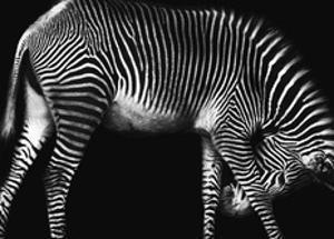 Zebra Solo by Xavier Ortega
