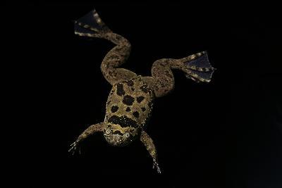 Xenopus Fraseri (Fraser's Clawed Frog)-Paul Starosta-Photographic Print