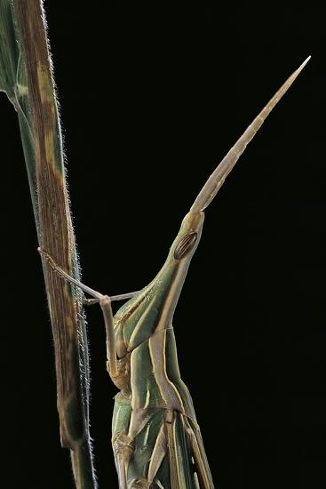 Xenotruxalis Fenestrata (Short-Horned Grasshopper) - Portrait-Paul Starosta-Photographic Print