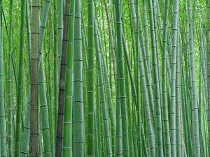 Bright Green Bamboo Forest in Kyoto Japan by xPacifica