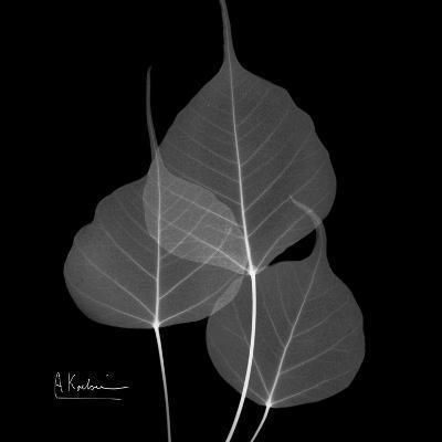 Xray Bo Tree-Albert Koetsier-Premium Giclee Print