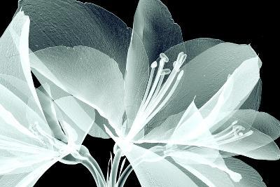Xray Image of a Flower Isolated on Black , the Amaryllis- posteriori-Art Print