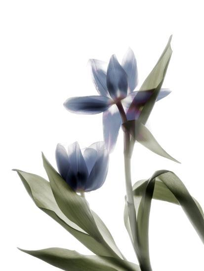 Xray Tulip VIII-Judy Stalus-Photographic Print