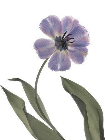 https://imgc.artprintimages.com/img/print/xray-tulip-x_u-l-q1bn47c0.jpg?p=0