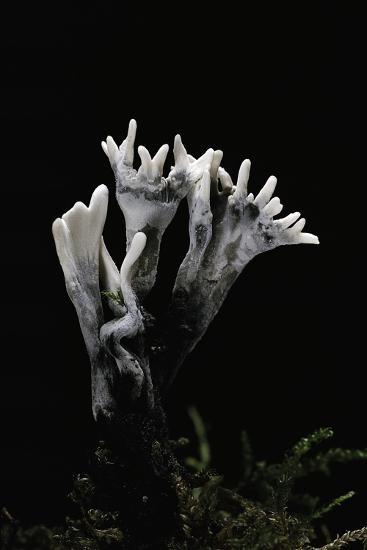 Xylaria Hypoxylon (Stag's Horn Fungus, Candlestick Fungus, Candlesnuff Fungus, Carbon Antlers)-Paul Starosta-Photographic Print