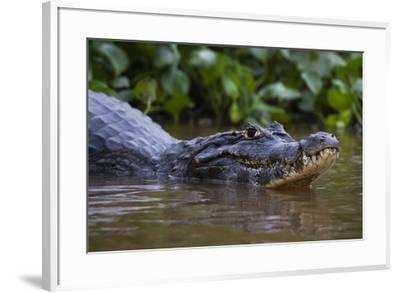 Yacare caiman (Caiman crocodylus yacare), Pantanal, Mato Grosso, Brazil, South America-Sergio Pitamitz-Framed Photographic Print