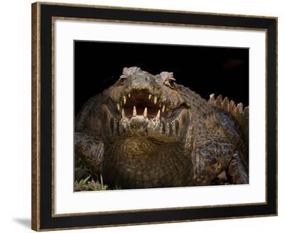 Yacare Caiman (Caiman Yacare) With Mouth Open To Keep Cool, Pantanal, Brazil-Angelo Gandolfi-Framed Photographic Print