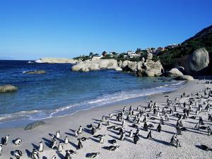 African Penguins at Boulder Beach in Simon's Town, Near Cape Town, South Africa, Africa by Yadid Levy