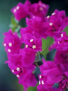 Bougainvillea Blooming, Island of Martinique, Lesser Antilles, French West Indies, Caribbean by Yadid Levy