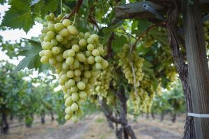 Grape at a Vineyard in San Joaquin Valley, California, United States of America, North America by Yadid Levy
