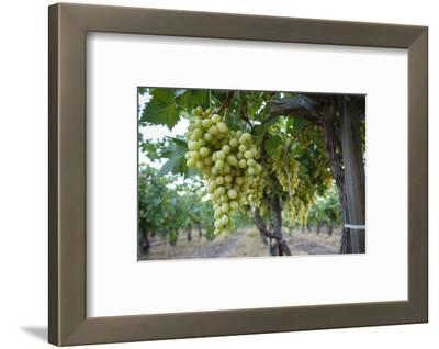 Grape at a Vineyard in San Joaquin Valley, California, United States of America, North America
