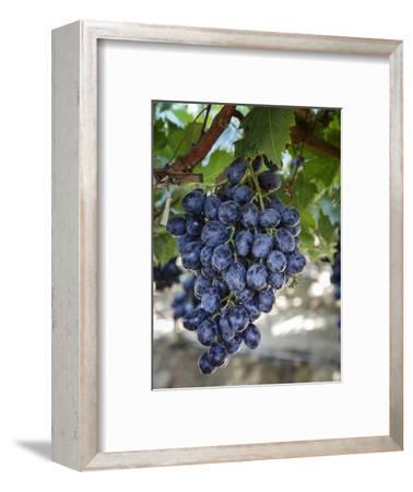 Grapes in San Joaquin Valley, California, United States of America, North America