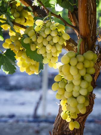 Grapes in San Joaquin Valley, California, United States of America, North America
