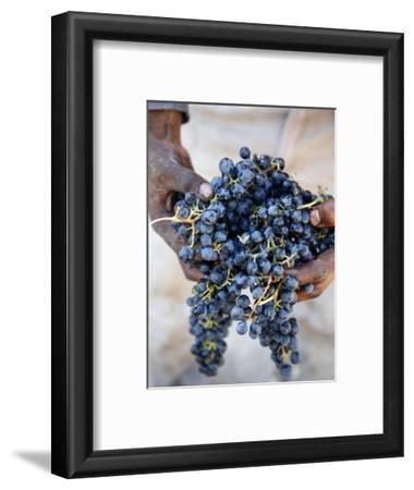 Harvest Worker Holding Malbec Wine Grapes, Mendoza, Argentina, South America