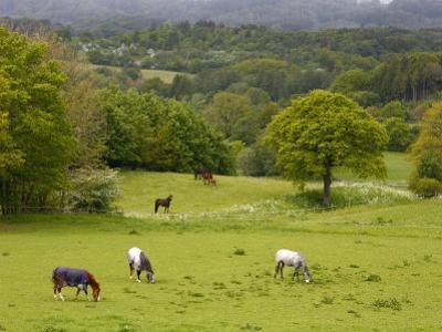Horses in Field Near Vejle, Jutland, Denmark, Scandinavia, Europe
