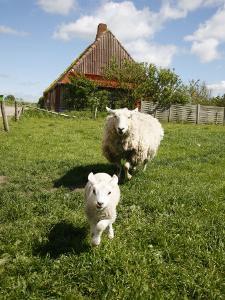 Marsk Lambs at a Farm in Dalen, Jutland, Denmark, Scandinavia, Europe by Yadid Levy