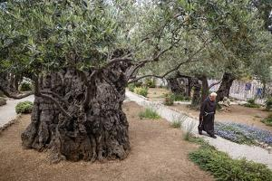 Olive Trees in the Garden of Gethsemane, Jerusalem, Israel, Middle East by Yadid Levy