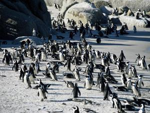 Penguins at Boulder Beach in Simon's Town, Near Cape Town, South Africa, Africa by Yadid Levy