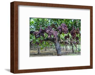Red Globe Grapes at a Vineyard, San Joaquin Valley, California, Usa