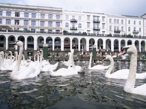 Swans in Front of the Alster Arcades in the Altstadt (Old Town), Hamburg, Germany by Yadid Levy