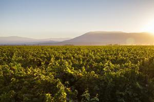 Vineyards in San Joaquin Valley, California, United States of America, North America by Yadid Levy