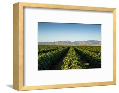 Vineyards in San Joaquin Valley, California, United States of America, North America
