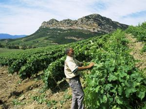 Vineyards, Patrimonio Area, Corsica, France by Yadid Levy