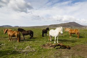Wild Horses, Reykjanes Peninsula, Iceland, Polar Regions by Yadid Levy