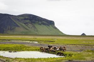 Wild Horses, South Iceland, Iceland, Polar Regions by Yadid Levy