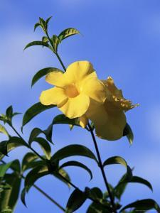 Yellow Alamanda Flowers, Martinique, Lesser Antilles, West Indies, Caribbean, Central America by Yadid Levy