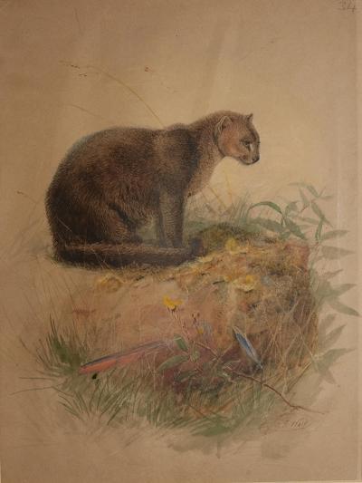 Yaguarundi Cat (Felis Yaguarundi)-Joseph Wolf-Giclee Print