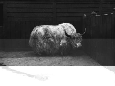 Yak--Photographic Print