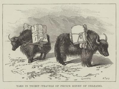 Yaks in Thibet, Travels of Prince Henry of Orleans