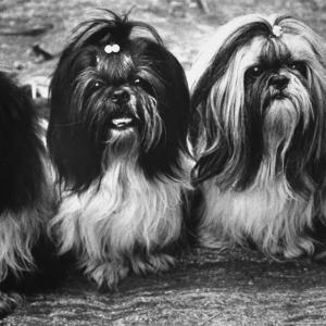 Expensive Little Chinese Dogs Shih Tzus Once Owned Only by Royalty by Yale Joel