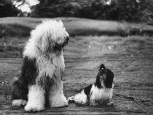 Old English Sheep Dog with Little Shih Tzu Dog by Yale Joel
