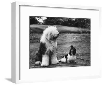 Old English Sheep Dog with Little Shih Tzu Dog