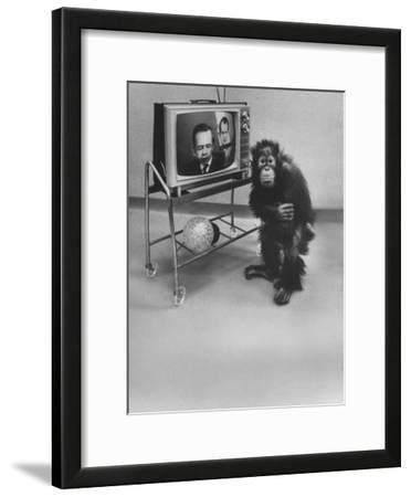 Puzzled Orangutan Standing Next to TV Set Playing the Image of President Richard Nixon