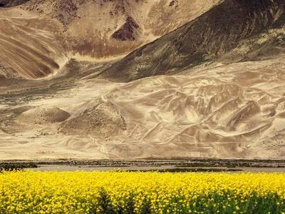 Oilseed Rape Plants Blooming at Foot of Mountain