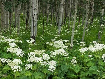 Yarrow and Aspen Trees Along Gothic Road, Mount Crested Butte, Gunnison County, Colorado, USA--Photographic Print