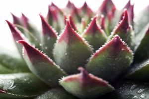 Beautiful Succulent Plant with Water Drops close Up by Yastremska