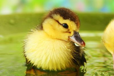 Cute Ducklings Swimming, On Bright Background