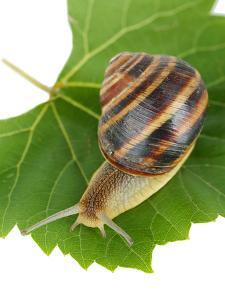 Snail On Leaf Isolated On White by Yastremska