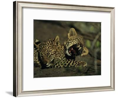 Yawning Four-Month-Old Leopard Cub with its Sleeping Sibling-Kim Wolhuter-Framed Photographic Print