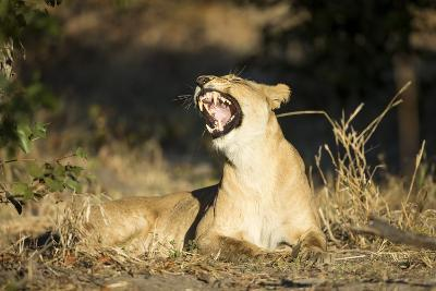 Yawning Lioness, Chobe National Park, Botswana-Paul Souders-Photographic Print